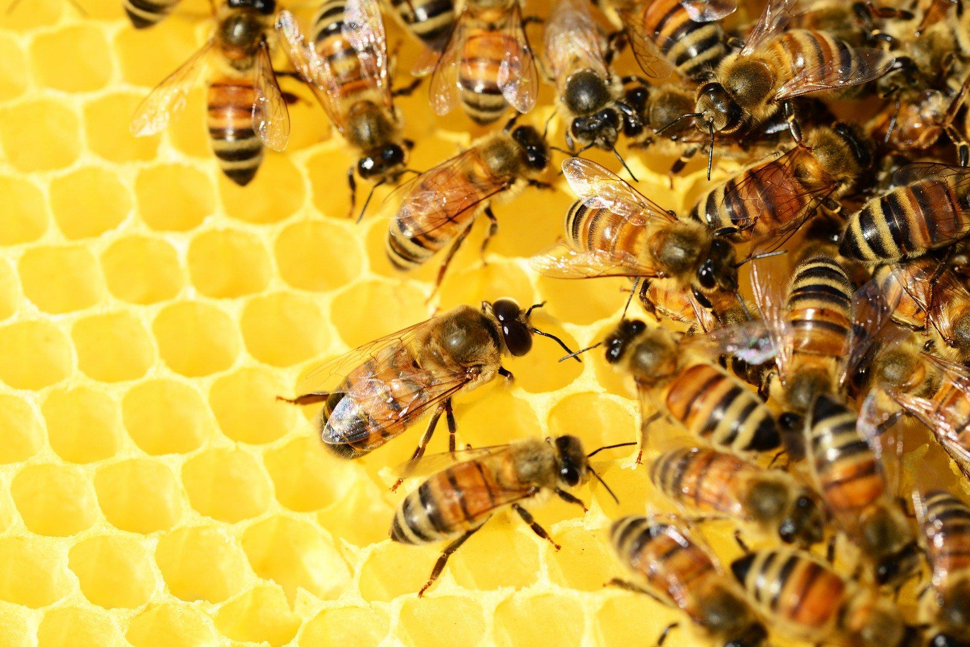 Abeille propolis trésor de la ruche